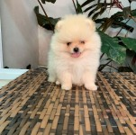 Registered Pom Pups WhatApp me at +447418315451