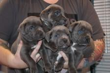 Male and female Caen colors puppies